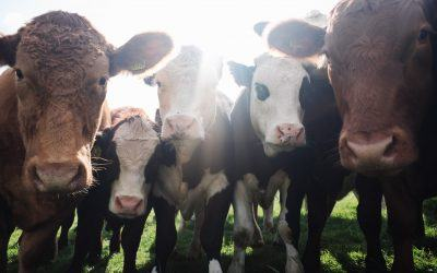 How Will Climate Change Affect the Cattle Industry?