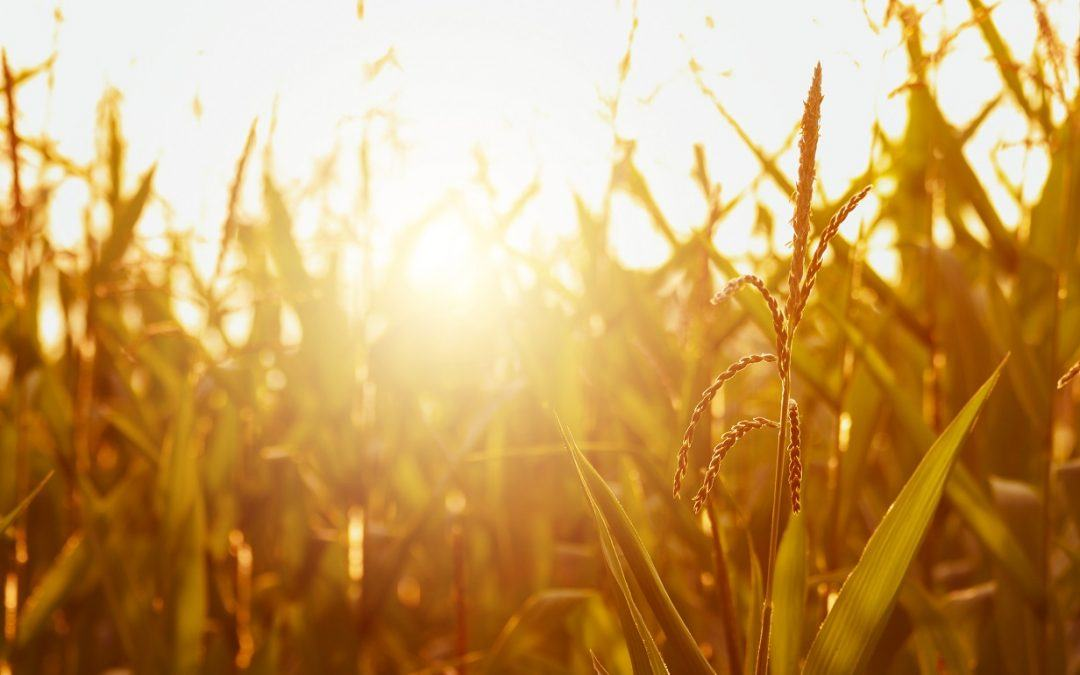 How Midwest Farms Are Being Impacted by Heat & Drought