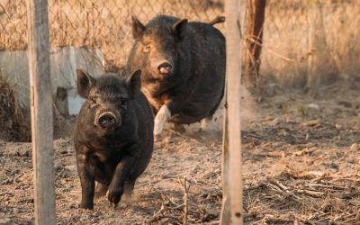 How to Start a Pig Farming Business